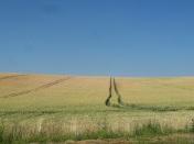 Jak flaga - niebieskie niebo i żółte pola