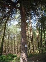 Pomnik przyrody - piękna sosna
