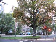 Ale Berlin to zdecydowanie bardziej zielone miasto niż Warszawa. Starych drzew jest mnóstwo